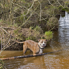 Jez, Wareham Forest (Julia Livesey) Tags: forest staffie jez wareham