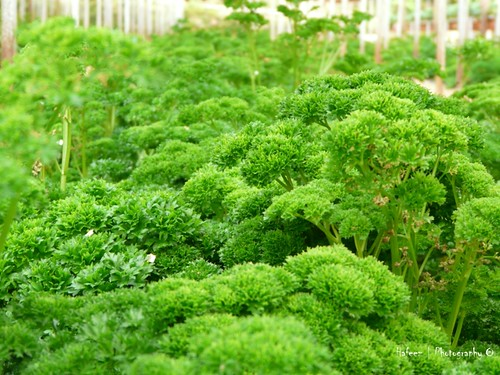 Fresh Vege