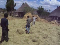 Harvesting teff (Eragrostis tef) in Ethiopia