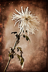 Spider's Mum (Joseph Orsillo) Tags: flowers flower texture joseph spider antique mum fl chrysanthemum orsillo josephorsillo jospehorsillo