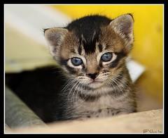 Baby cat (BP Chua) Tags: pet baby eye animal cat mammal temple singapore shot emotion wildlife super newborn meow soe pulau ubin kissablekat bestofcats ysplix drhwk7gallery bpchua