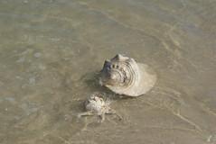 caramujos (fjxikao) Tags: mar areia conchas caramujos fotosmarinhas