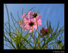 cosmos sky..... (~pauline sirks ~) Tags: pink blue sky plant flower macro nature garden cosmos differentpov