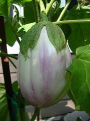 White Eggplant (boisebluebird) Tags: plants vegetables garden gardening eggplant harvest boise heirloomvegetables whiteeggplant michaeltoolson boisebluebirdcom httpwwwboisebluebirdcom boiselandscaping boisegardener