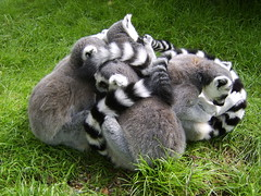 Group Hug. By Ian Layzell (IANLAYZELLUK) Tags: animal zoo holding hug ngc group squeeze lemur cuddle lemurs grouphug westmidlands hold zoos midlands enclosure dudleyzoo enclosures summer2008 dudleyzooandcastle ianlayzell