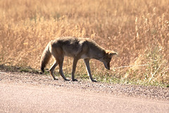 Not the least bit interested in me (Dally) Tags: coyote
