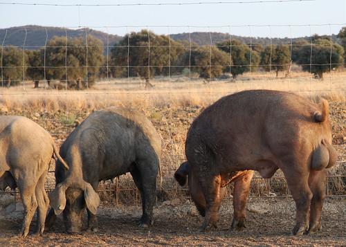 Pig 'nads