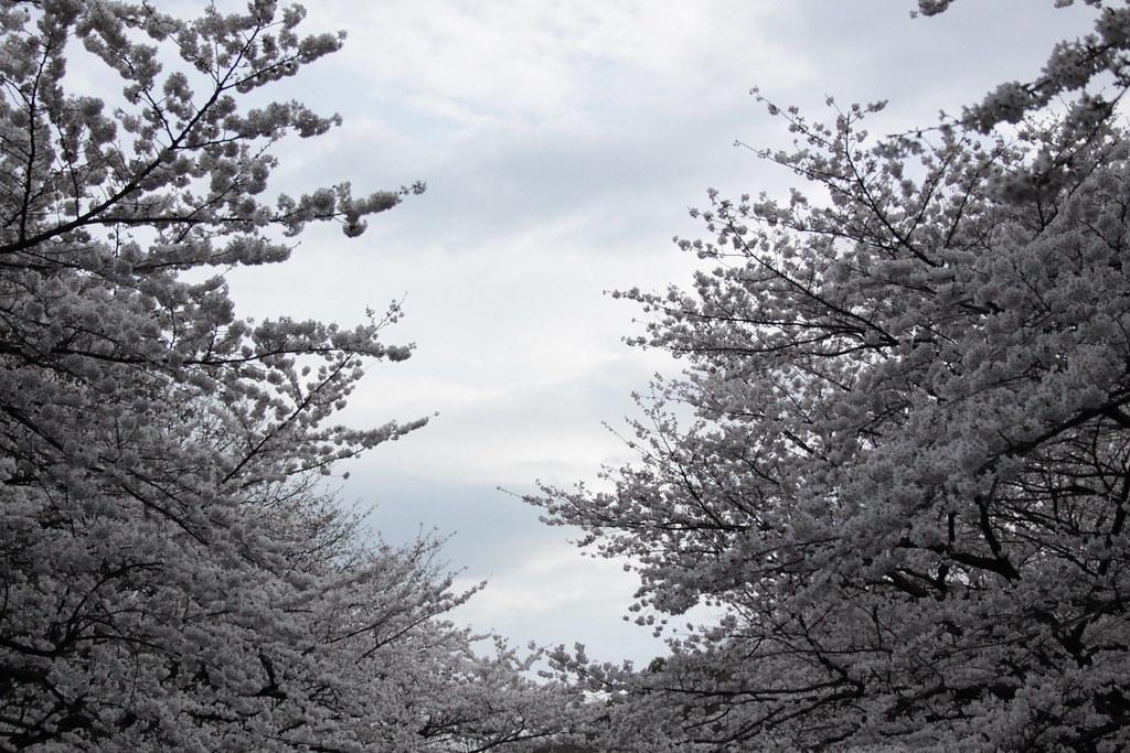 Sakuras in full bloom