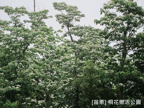 苗栗樂活桐花公園156