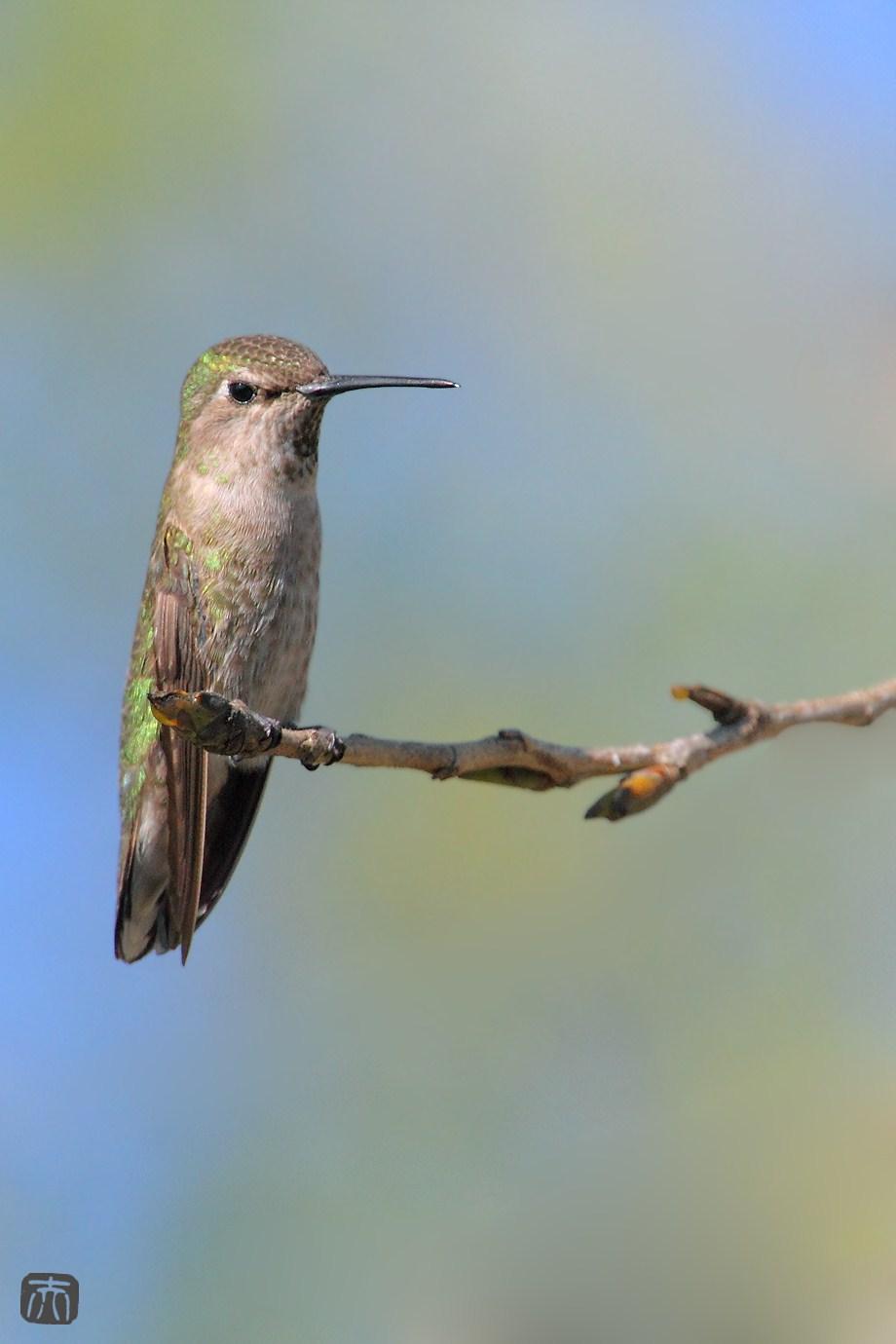 Anna's Hummingbird 051411
