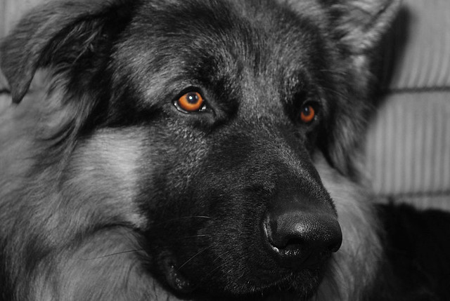 My German Shepherd