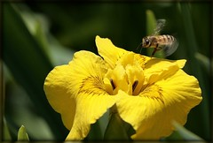 Landing on Beauty (Alicia Lynn) Tags: orange usa flower nature yellow fauna wisconsin bug insect outdoors flora blossom wildlife cluster fox blossoming bud 90mm wi picnik appleton flourishing floweret floret county cities macro tamron friendlychallenges wonderfulworldofflowers canonrebelxti alicialynncook northamerica gardens 20110605 witamron90mmmacroflower outagamie tamron90mmmacroalicialynncook outagamiecounty gardensofthefoxcities