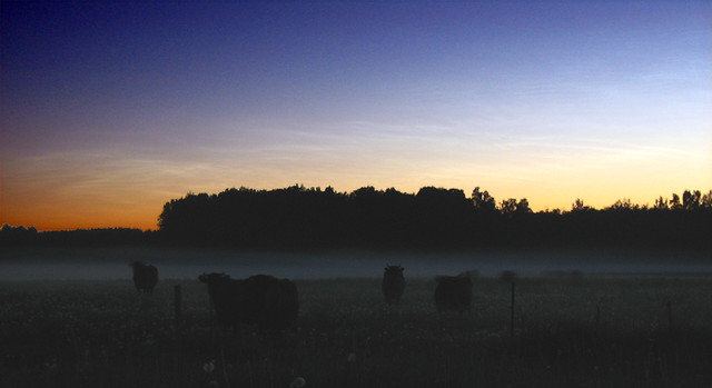 Noctilucent clouds & Cows