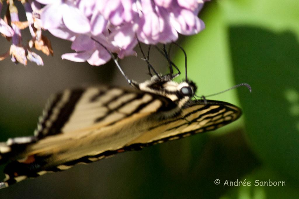 Eastern Tiger Swallowtail (Papilio glaucus)-44.jpg