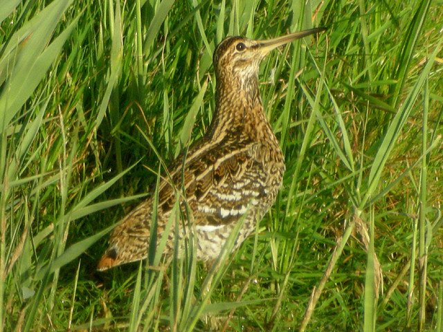 Great Snipe, Cley (Norfolk), 12-May-11