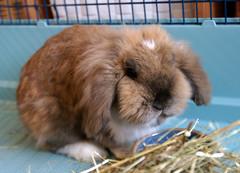 Meet.... Boomer! (Sjaek) Tags: pet cute rabbit bunny furry fluffy boomer