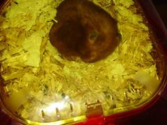 Prudie loves sleeping (bleudreams) Tags: hamsters smallanimals