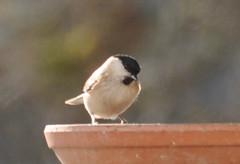 Oiseau (ComputerHotline) Tags: life france bird nature birds animal animals wildlife aves animaux lorraine oiseau fra oiseaux vie grangessurvologne falleurgoutte