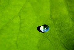 Goutte d'eau sur une feuille de Lotus,  , Nelumbo nucifera, Jardin des Plantes, Paris, France 2008 (Baloulumix) Tags: paris france color macro art nature fleur plante french photography photo julien photographie lotus jardin zen    francia couleur plantes  pars   photographe           nelumbo   nucifera     jardinzen   jardinplante baloulumix  france2008     fourniol  fournioljulien julienfourniol