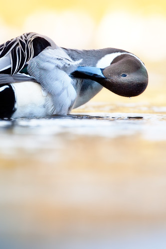 20090125-pintail duck6