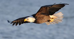 """On Eagle's Wings"" (Rick_in_the_QC) Tags: bird inflight wildlife baldeagle iowa raptor mississippiriver nikkor 70300mm vr haliaeetusleucocephalus birdsofprey nationalbird quadcities talons lockanddam leclaire views400 vibrationreduction 70300mmf4556gvr nikond90 lockanddam14 nikkor70300mmf4556gifedafsvrzoom oneagleswings michaeljoncas lockanddamno14 photoscapeusers"