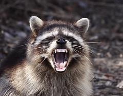 [フリー画像] [動物写真] [哺乳類] [アライグマ] [欠伸/あくび] [叫ぶ]      [フリー素材]