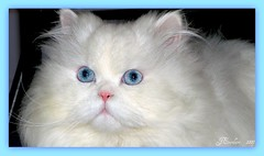 Blue Eyes by J.Everhart ( julev69  200,000+ views ~THANK YOU!!!) Tags: persiancat blueeyed prettykitty cutekitty blueeyedcat whitepersian adorablekitty platinumphoto dollfacedpersian jeverhart julev69 pashminawhite pashminawhitepersian