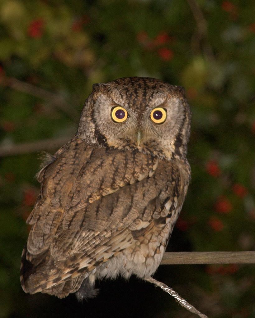 Eastern Screech Owl ~ Gray Morph