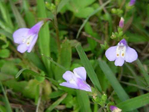 金龍湖-紫色小花