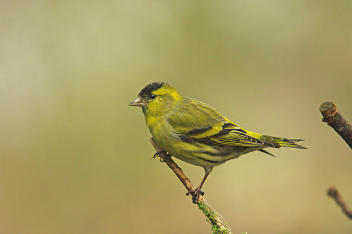 Siskin on a dull day