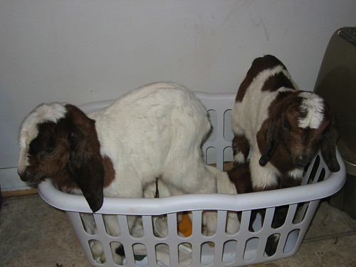 2009 feb 23: goat laundry1