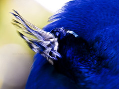 Quivering (isolano.) Tags: blue abstract bird nature peacock onlythebestare
