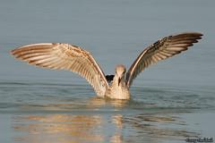 Seagull cooling off (Paul Bil) Tags: sea summer holiday beach closeup nikon quality seagull best romania 2008 constanta sibiu mamaia d80 70300vr