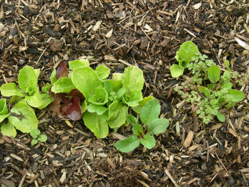 Mesclun finally growing