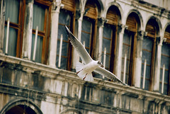 Seagull in Venice (Studio Neko) Tags: italy motion building bird fly flying wings italian nikon san italia mask ali volo marco piazza venezia moviment gabbiano maschera volante alato uccello volare sospeso d80 seacull slbflying