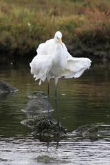 Intermediate Egret (Ardea intermedia) (Away with the Birds) Tags: bird fauna egret intermediateegret ardeaintermedia kororoitcreek altonacoastalpark