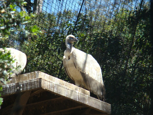 Cape Griffon Vultures at the Los Angeles Zoo