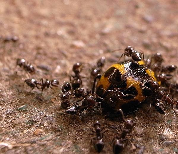 てんとう虫に集まるアリ