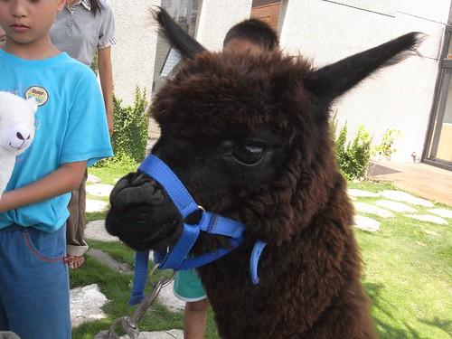 你拍攝的 10可愛的羊駝。