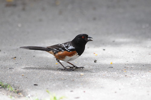32 Spotted Towhee