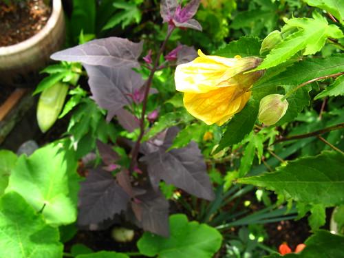 2009-08-01 garden; Atriplex hortensis, Abutilon