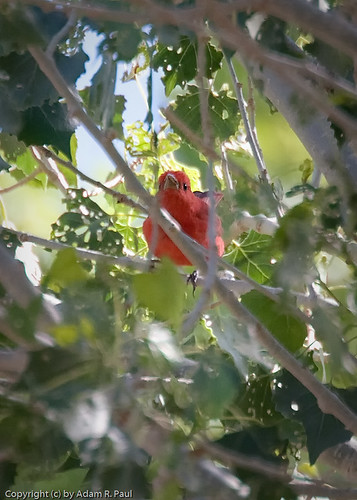 Summer Tanager by you.