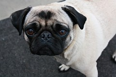 Melba (tashaverbeke) Tags: dog pug melba