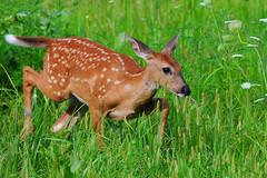 Looking for mom (www.ryanaskren.com) Tags: city white mammal nikon wildlife tail iowa deer animalplanet whitetail whitetaileddeer muscatine d300 200400mm ryanaskren wwwryanaskrencom
