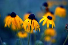 The Leavings Of Summer (_David_Meister_) Tags: blue autumn summer flower macro yellow photoshop 50mm bokeh sommer herbst gelb blau blume makro theunforgettablepictures davidmeister theleavingsofsummer