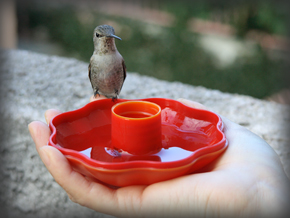 Anna's Hummingbird hand0913