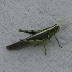 september grasshopper