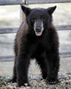 "Black Bear • <a style=""font-size:0.8em;"" href=""http://www.flickr.com/photos/98558265@N00/3903626211/"" target=""_blank"">View on Flickr</a>"