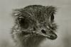rhea (Leo Reynolds) Tags: bw bird animal fauna photoshop canon eos iso400 duotone f56 rhea 135mm 0006sec 40d hpexif leol30random groupallanimals xexflx xscoutx xexplorex groupblackwhite groupsepiabw xleol30x xxplorstatsx xxx2009xxx xratio3x2x