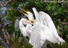 Great Egret Juveniles (Image Hunter 1) Tags: nature birds louisiana bayou swamp greategret birdslouisiana